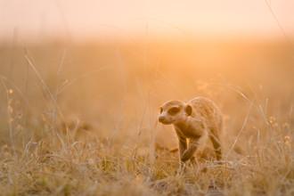 Dennis Wehrmann, Erdmännchen im Sonnenuntergang auf den Makgadikgadi Pfannen (Botswana, Afrika)