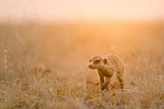 Dennis Wehrmann, Meerkat sundown Makgadikgadi Pans, Erdmännchen im Sonnenuntergang auf den Makgadikgadi Pfannen (Botswana, Afrika)