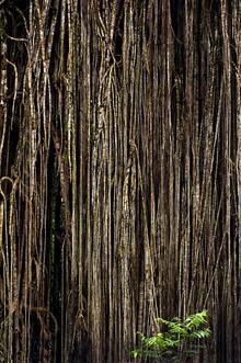 Franzel Drepper, Cathedral fig tree at Lake Eacham - Australia (Australien, Australien und Ozeanien)