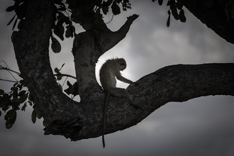 Baboon Yoga - Fineart photography by Marc Rasmus