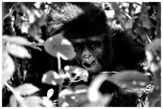 David Samaranch Rebull, gorilla 1 (Algerien, Afrika)