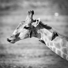 Dennis Wehrmann, giraffe with oxpeckers, giraffe mit oxpeckern (Botswana, Afrika)