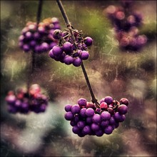 Ariane Coerper, Purple berry (Germany, Europe)