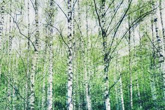 Birkenwald - fotokunst von Nadja Jacke
