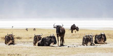 Renee Del Missier, Gnus (Tansania, Afrika)