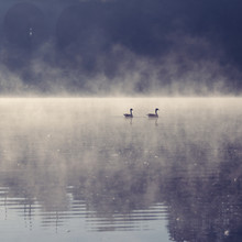 Nadja Jacke, 2 birds on a lake with fog in the morning (Germany, Europe)