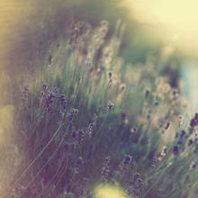 Nadja Jacke, lavender in the sunlight (Germany, Europe)