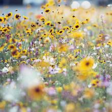 Nadja Jacke, Summer flower meadow with wildflowers (Germany, Europe)