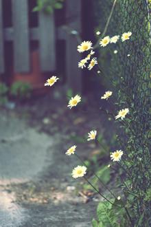 Nadja Jacke, Daisies at the garden fence (Germany, Europe)