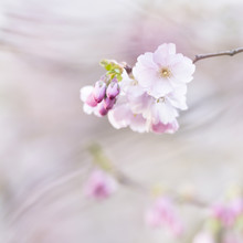 Nadja Jacke, Cherry blossom in spring (Germany, Europe)