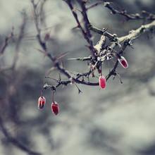 Nadja Jacke, Gefrorene rote Beeren (Deutschland, Europa)