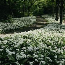 Nadja Jacke, Wild garlic carpet in the Botanical Garden in Bielefeld (Germany, Europe)