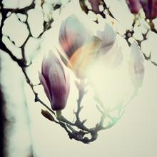 Nadja Jacke, Magnolia Blossom in the spring sunshine (Germany, Europe)