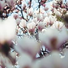 Nadja Jacke, Magnolien-Blüten-Himmel (Deutschland, Europa)