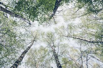Nadja Jacke, Der Himmel voller Birken im Frühling (Deutschland, Europa)