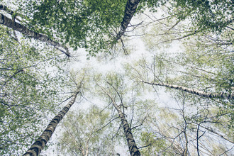 Nadja Jacke, The sky full of birch trees in spring (Germany, Europe)