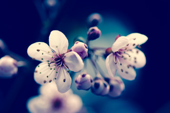 Prunus cerasifera I - Fineart photography by Gabriele Brummer