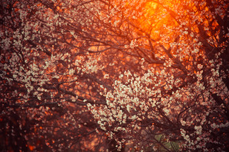 Juvenal Manfrin, blooming tree and sun flare (Italy, Europe)