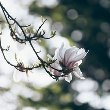 Nadja Jacke, Zauberhafte Magnolienblüten (Deutschland, Europa)