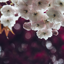 Nadja Jacke, cherry blossoms in spring (Germany, Europe)