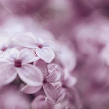 Nadja Jacke, Pink Lilac dream (Germany, Europe)