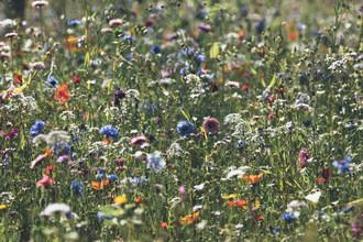 Nadja Jacke, Wiese voll farbenfroher Sommerblumen (Deutschland, Europa)