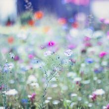Nadja Jacke, Flax in summer flower meadow (Germany, Europe)