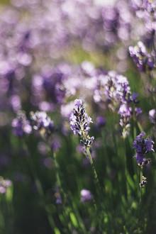 Nadja Jacke, Fragrant lavender in the summer sun (Germany, Europe)