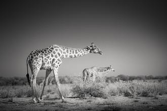 Tillmann Konrad, Hiding giraffes (Namibia, Africa)