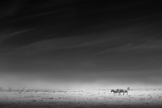 Zebras - Fineart photography by Tillmann Konrad