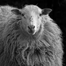 Andreas Odersky, sheep (Germany, Europe)