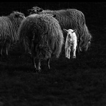 Andreas Odersky, lamb (Germany, Europe)