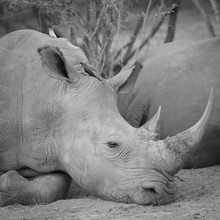 Dennis Wehrmann, Nashorn im Kapama Game Reserve South Africa (Südafrika, Afrika)
