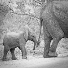 Dennis Wehrmann, Baby Elephant Krüger National Park South Africa (South Africa, Africa)