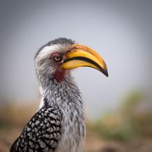 Dennis Wehrmann, Hornbill Krüger National Park South Africa (Südafrika, Afrika)