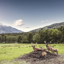 herd of red deer in the mountains - Fineart photography by Markus Schieder