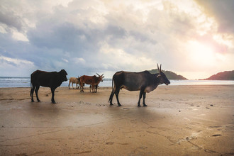 Markus Schieder, Magnificent herd of sacred cattle at the beach (Indien, Asien)