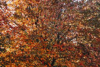 Nadja Jacke, Maple tree in autumn dress (Germany, Europe)