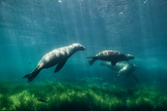 Sea lions playing - fotokunst von Christian Göran