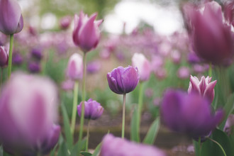 Nadja Jacke, tulips blobs (Germany, Europe)