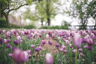 Nadja Jacke, Tulips meadow (Germany, Europe)