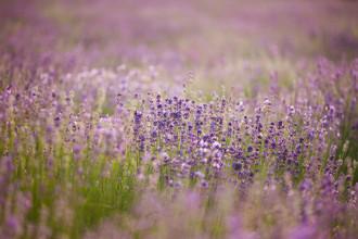 Nadja Jacke, Blooming lavender field (Germany, Europe)