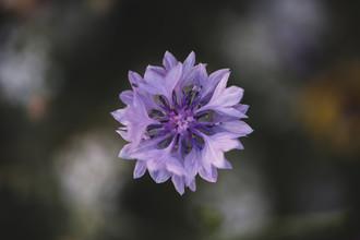 Nadja Jacke, purple flowering cornflowers (Germany, Europe)