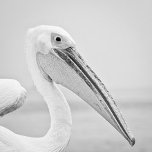 Dennis Wehrmann, Pelikan in Namibia (Namibia, Afrika)