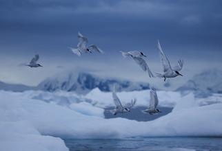 Antarktis: Polarvögel - fotokunst von Jens Rosbach