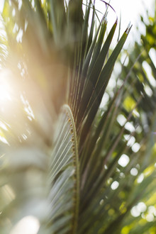 Nadja Jacke, Palm tree - palm tree fronds - lit up in the sunlight of the summer sun of Formentera (Spain, Europe)
