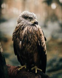 Steven Ritzer, Mr. Hawk (Deutschland, Europa)