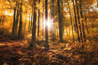 Oliver Henze, Golden autumn in the forest (Germany, Europe)