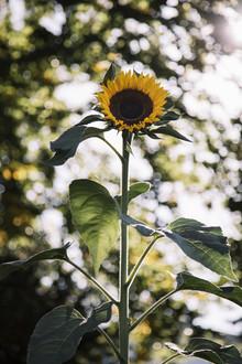 Nadja Jacke, Sonnenblume in der Herbstsonne (Deutschland, Europa)