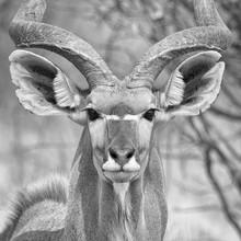 Dennis Wehrmann, kudu antilope | central kalahari  (Botswana, Afrika)